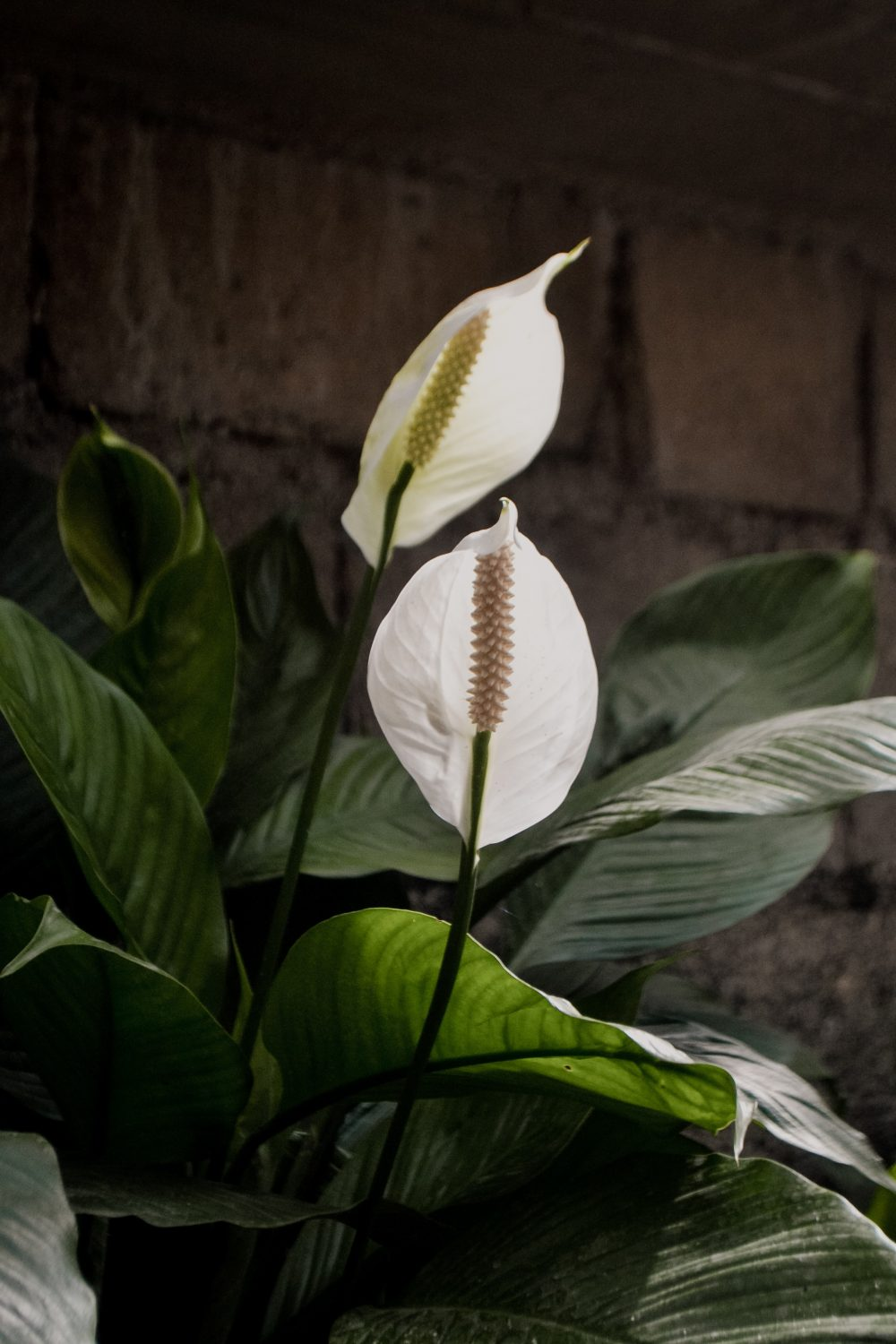 peace lily indoor plants singapore