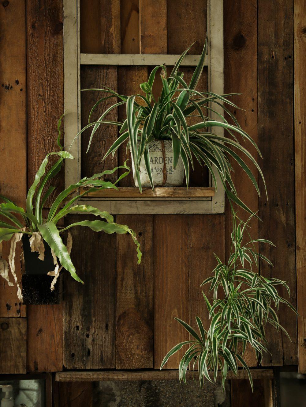 spider plant indoor plants singapore